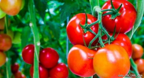 Không được ăn cà chua theo 5 cách sau