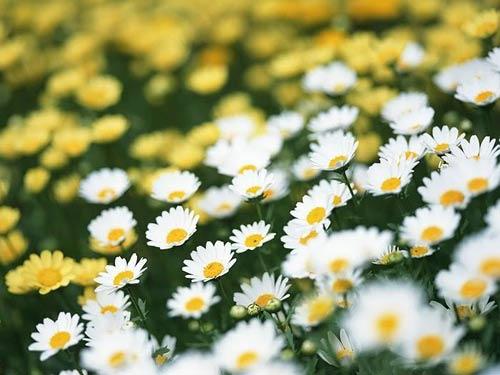 Cúc hoa