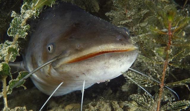 Vào thế kỷ 18, bong bóng cá đã được dùng để chữa lành vết thương ở Anh.