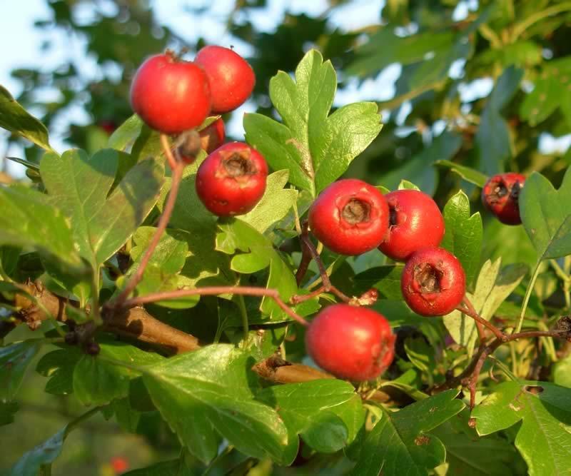 Trái cây hawthorn làm tăng khả năng cương cứng và tăng cường tình dục