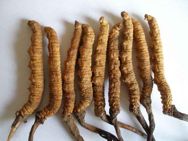 Đông trùng hạ thảo (Cordyceps)