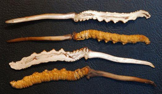 Aloha Medicinals đã lấy giống Đông trùng hạ thảo chuẩn Cordyceps sinensis từ Tây Tạng
