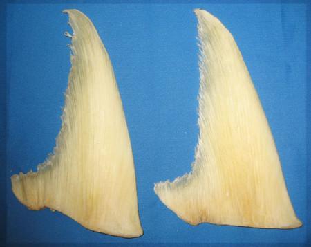 Các thành phần chiết xuất từ vi cá mập trong  Costa Shark Cartilage tốt cho xương khớp của bạn