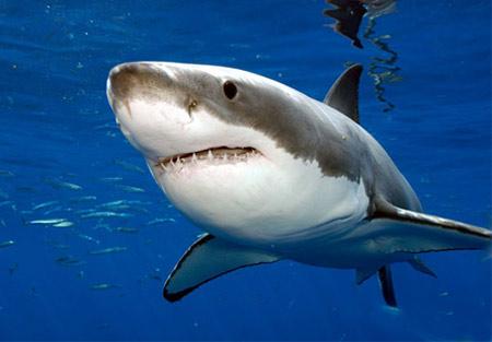 Swanson Shark Cartilage 250 viên được chiết xuất 100% sụn cá mập