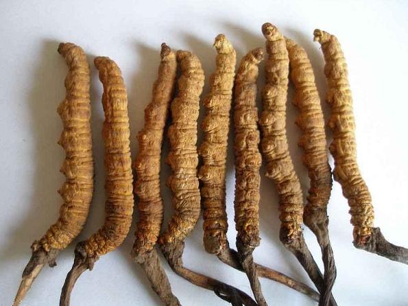 Đông trùng hạ thảo dược liệu quý đã được chứng minh công dụng