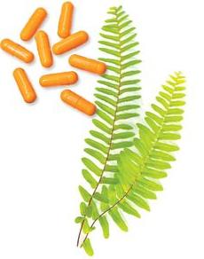 Chiết xuất photoprotection cây dương xỉ thành phần chủ yếu của viên uống chống nắng Heliocare Oral Capsules