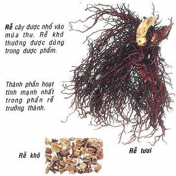 Rễ cây cohosh đen trị các cơn đau các bệnh liên quan đến thời kỳ mãn kinh