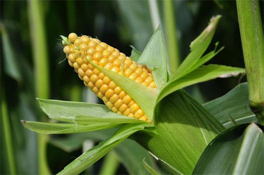Ngô là thực phẩm chứa nhiều ceramide