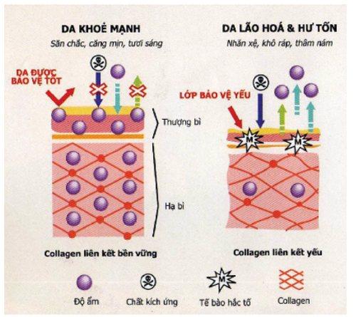 Sơ đồ mô phỏng qúa trình hấp thu collagen trong cơ thể