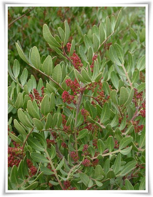 nhựa cây Pistacia lentiscus có tác dụng hổ trợ sức khỏe dạ dày