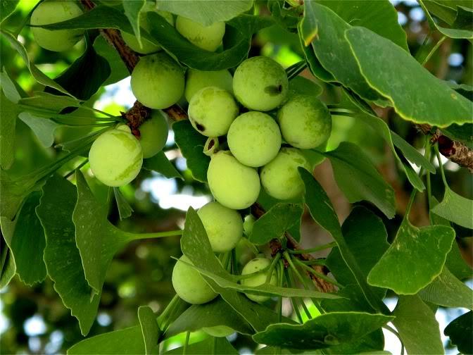 Cây Bạch Quả thành phần chính của Trunature Ginkgo biloba