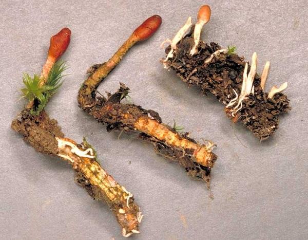 Đông trùng hạ thảo cao cấp nhập từ mỹ