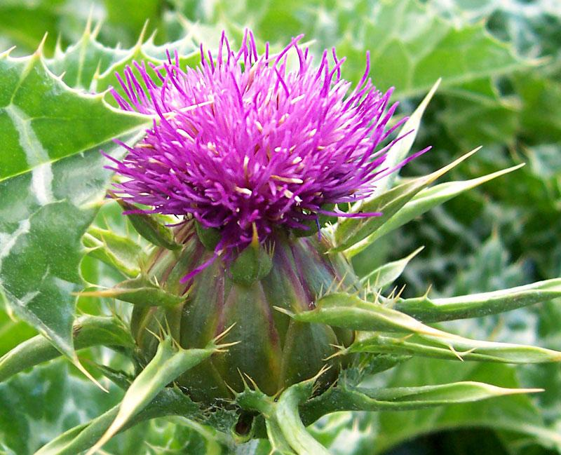 Cúc gai (Blessed Thistle)