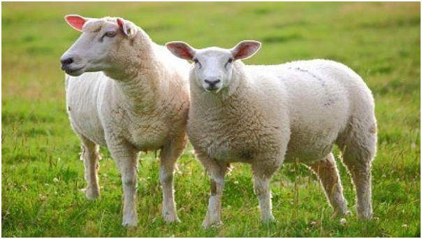Lamb Placenta with Vitamin E chiết xuất tự nhiên từ nhau thai cừu