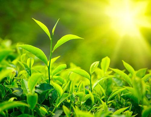 Trà xanh có thể làm giảm lượng mỡ trong máu, thanh lọc, đào thải độc tố trong cơ thể