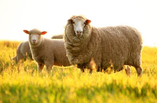 Nhau thai cừu là phương pháp làm đẹp hiệu quả