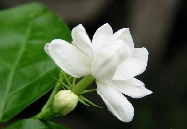 Hoa nhài thường được dùng ướp chè hoặc làm thơm thức ăn