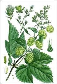 Tác dụng nổi bật của nature's way hops flowers